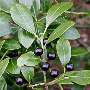 Gallberry-Berries